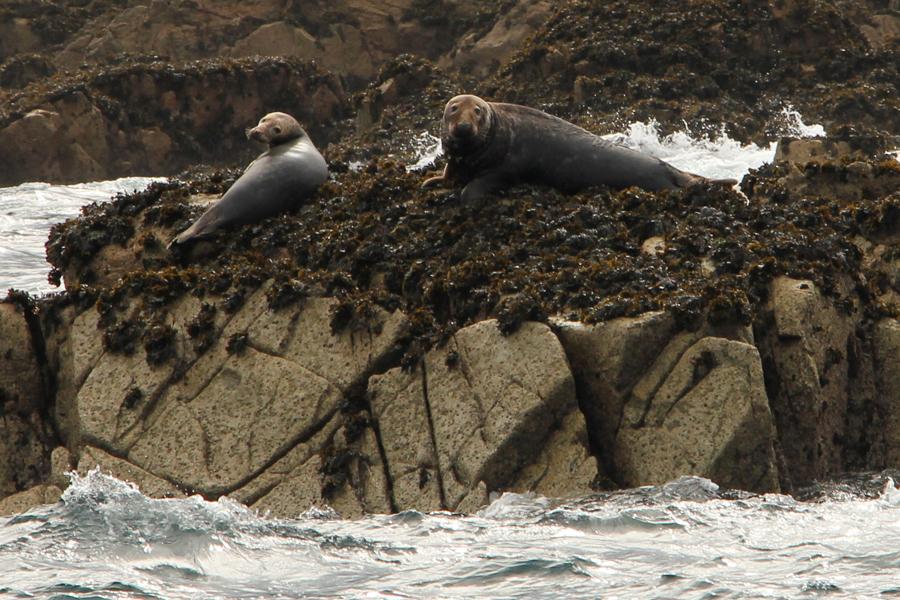 Bretagene Sept Iles, auch Robben leben rund um die Sept Iles