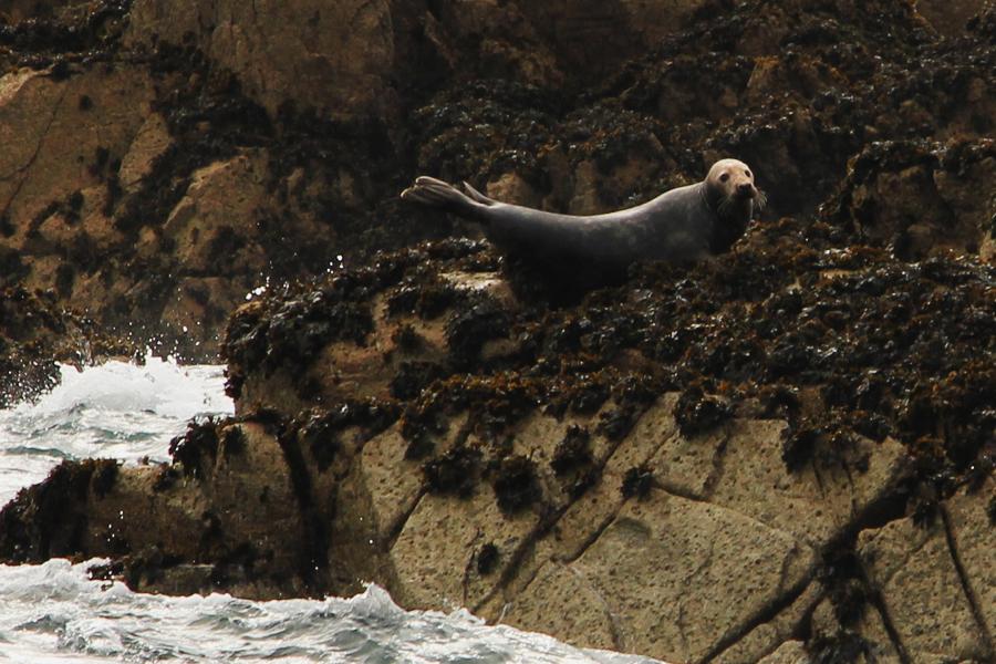Bretagene Sept Iles, eine Robbe räkelt sich auf einem Felsen.