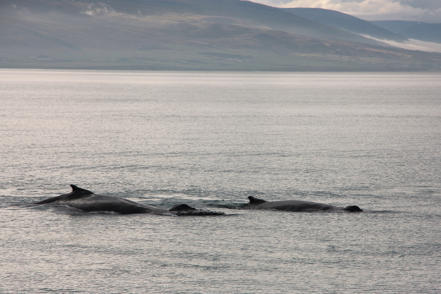 whale-watching-in-nord-island-5
