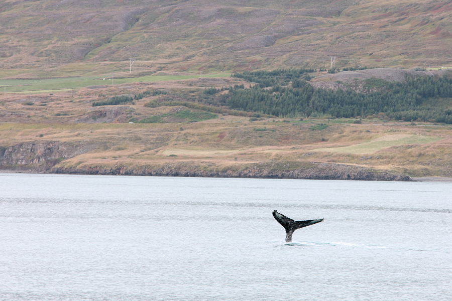 whale-watching-in-nord-island-7