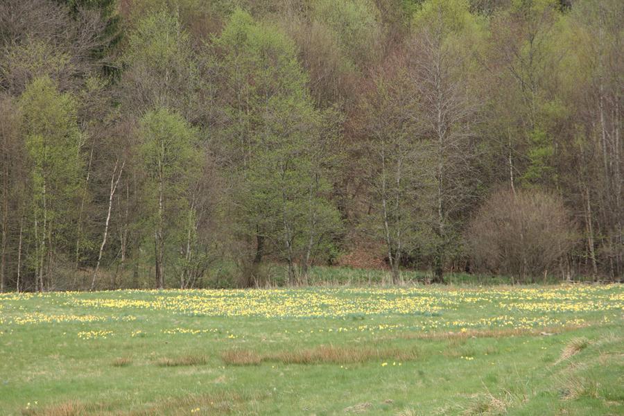 Narzissenblüte in der Eifel