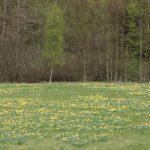 Narzissenblüte in der Eifel – Rundwanderung im Perlenbachtal