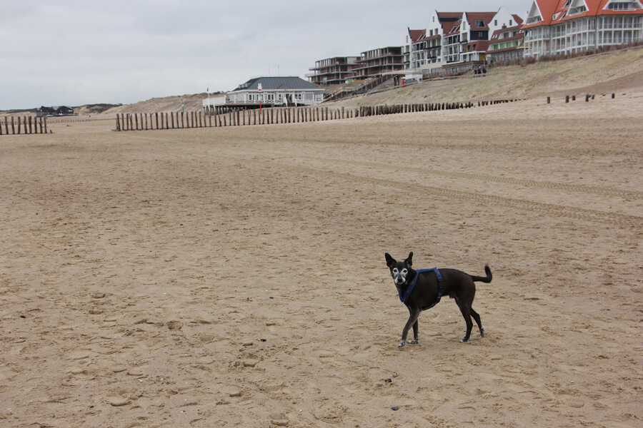 Mein Hund am Strand in Cadzand Bad