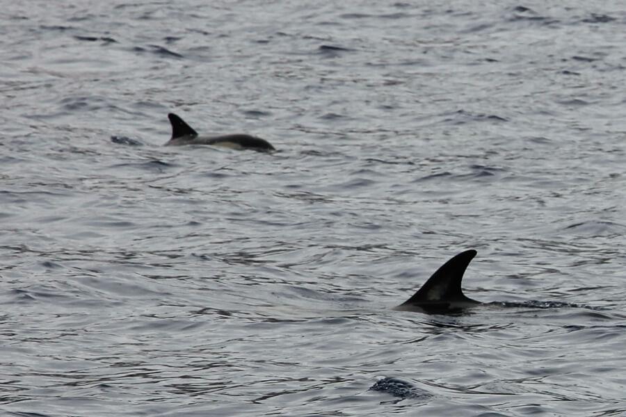 Delfine im Wasser vor der Küste Funchals.