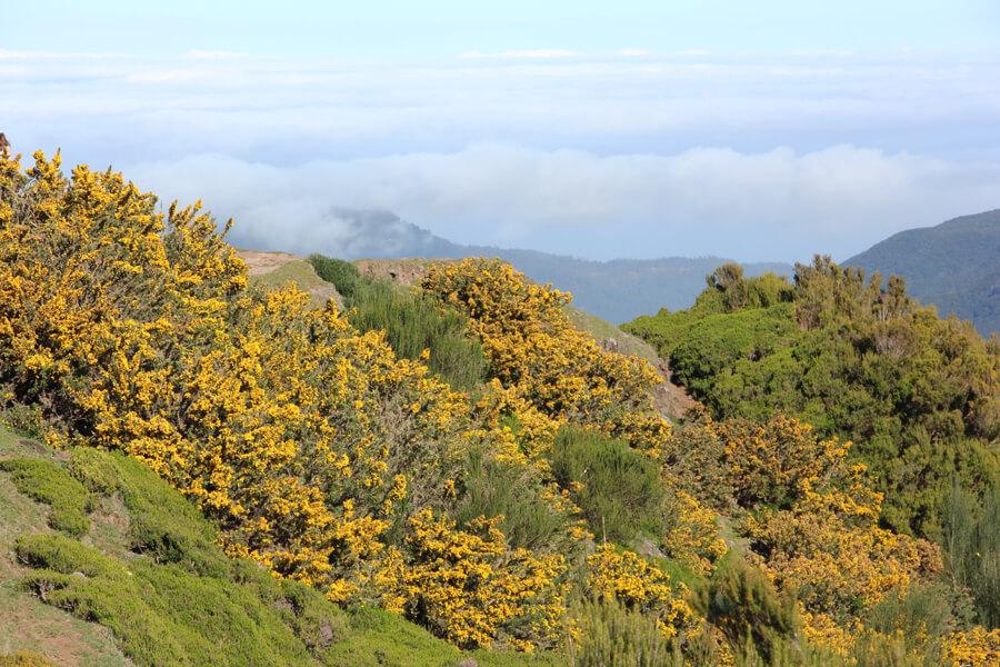 Gelb blühender Ginster auf der Hochebene Paul da Serra