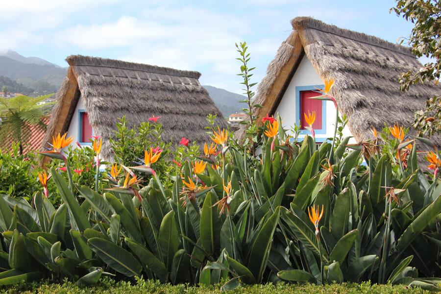 Strelitzien blühen vor den Strohäusern in Santana