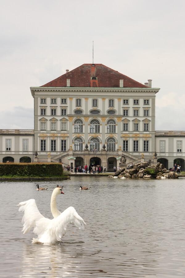 Schwan breitet seine Flügel aus vor Schloss Nymphenburg