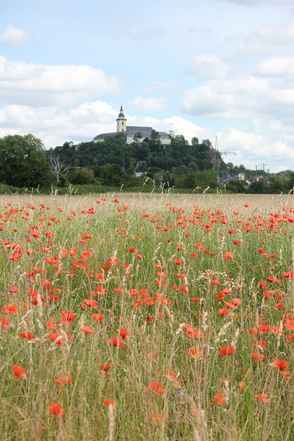 Blühende Mohnblumen auf einem Feld bei Siegburg
